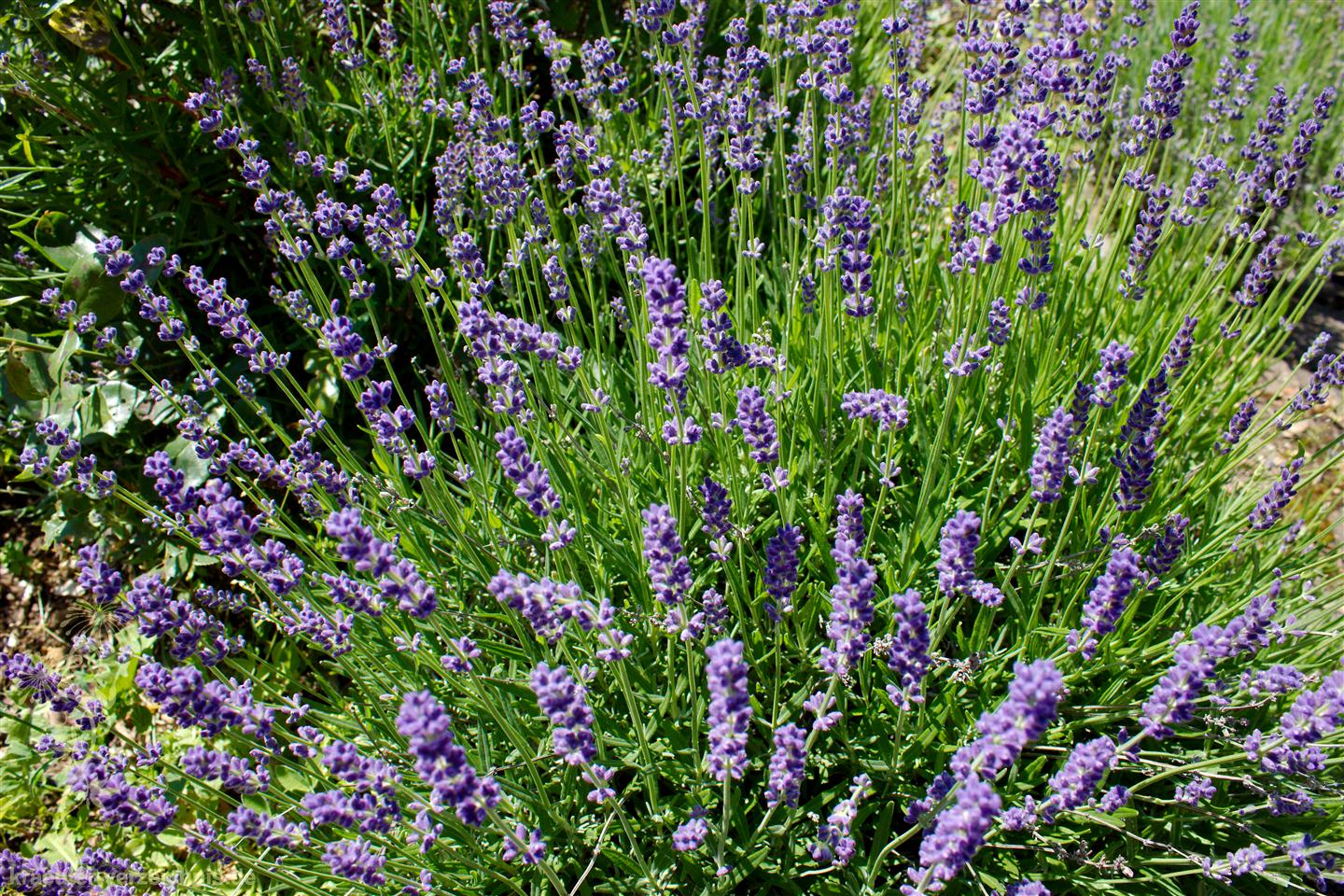 lavendel pflege lavendel pflege lavendel schneiden pflege lavandula lavendel pflege in garten. Black Bedroom Furniture Sets. Home Design Ideas